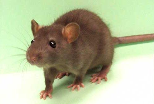 [Image: rat-0.jpg]