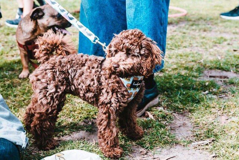 Newtown Fetsival dog